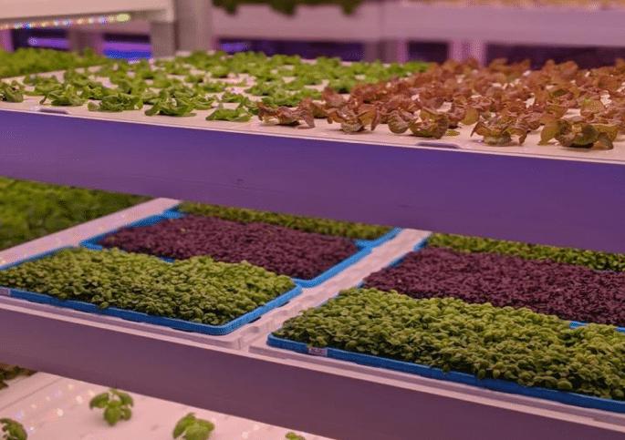 Microgreens che crescono in Vertical Farming.