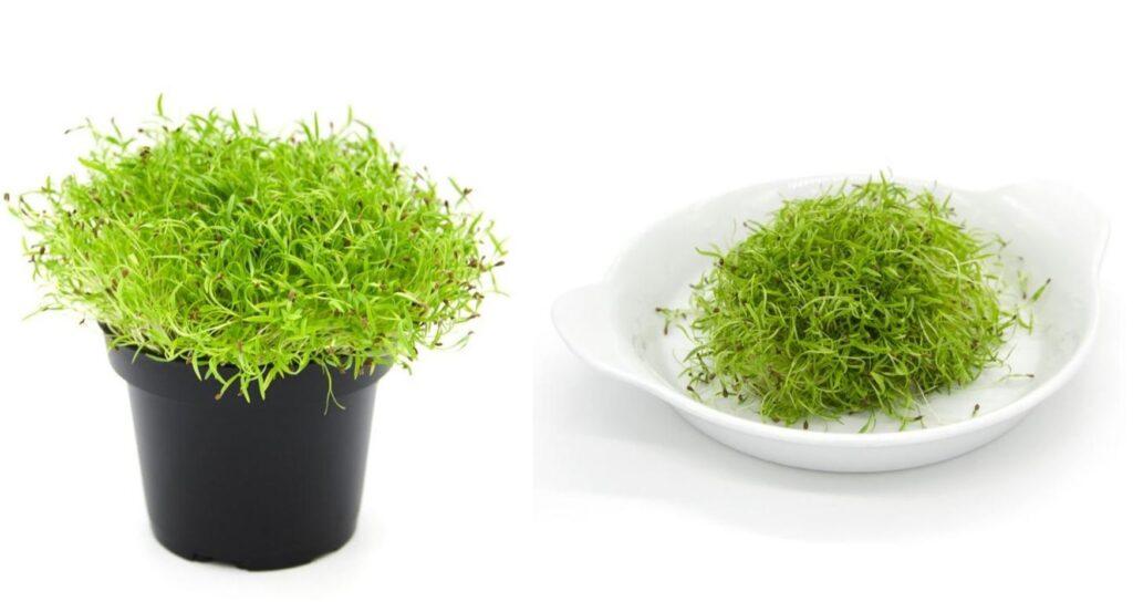 Microgreens carota
